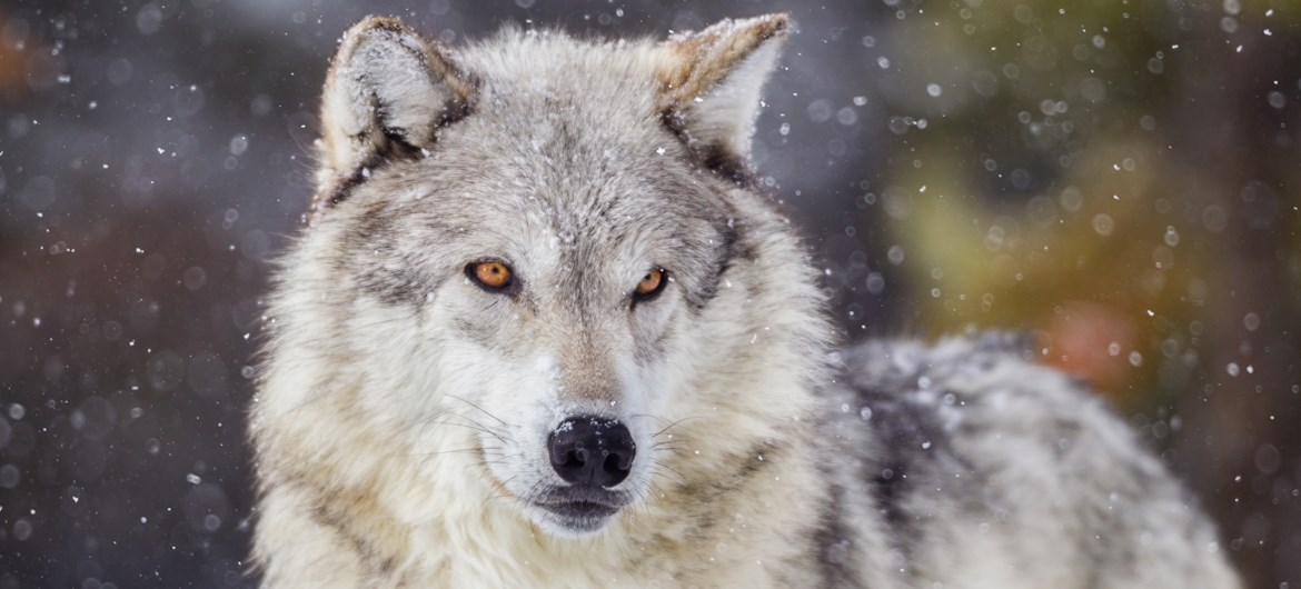 wolf facts gray wolves timber wolves red wolves ava360